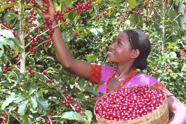 Ethiopian girl collecting ripe coffee beans